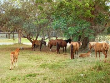 Wild horses roam over Vieques Island!