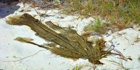 Dead sea fan found on Playita Beach in Puerto Ferro Bay