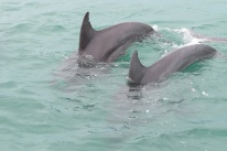 Dolphins in the wild. This was taken from a charter boat in Key West 2014. Pretty Amazing!